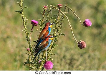 bee-eater - european bee eater (merops apiaster) in Danube...