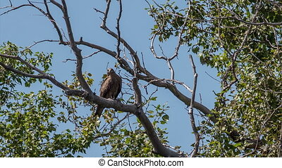 Black Kite - A black kite sits on a dry branch of a tree