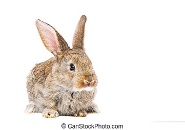 one young brown rabbit - one young light brown rabbits with...