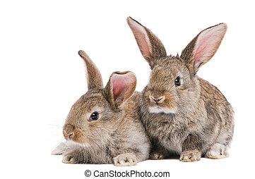 dos, bebé, conejos, aislado, blanco