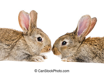 two isolated rabbits face to face - two young light brown...