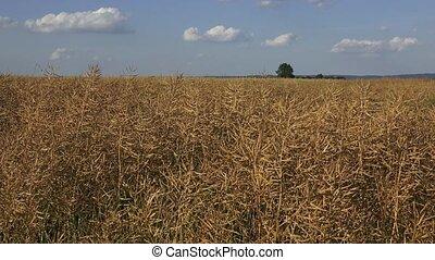 Dried matured rape in the field.  Field of ripe rape.