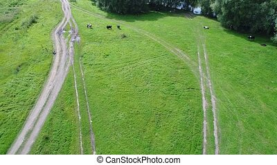 the flight of the drone over the fields. Meadow with cows. The village next to the river