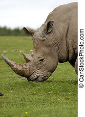 Rhino - The head and horns of a rhino