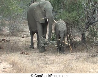 Elephants in Kruger National Park South Africa
