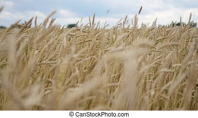Wheat spikes fly in the wind. Wheat field - Wheat field....