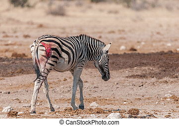 Burchells zebras with visible wound, probably from a lion...