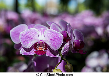 Farland orchid - Beautiful Farland orchid in tropical...