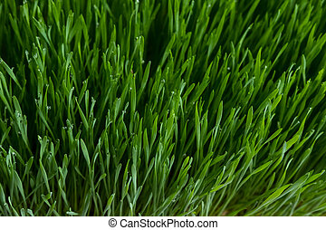 Wheat grass - Fresh wheat grass with drop of water.