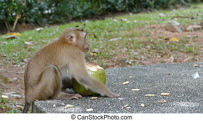 young monkey eating coconut - cute monkey eating coconut in...