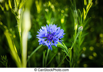 Cornflower on a meadow in the garden