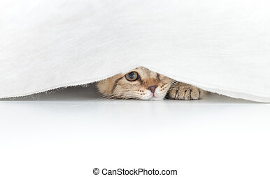 Funny cat hidden under small white curtain isolated on white
