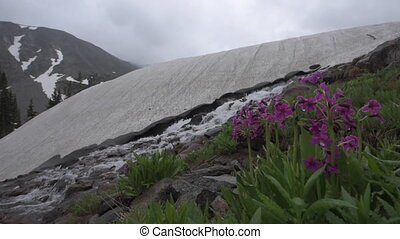 Parrys Primrose Primula parryi flowers Melting Glacier Snow...
