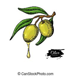 Olive branch with a drop of olive oil vector illustration. Hand drawn plant in vintage style.
