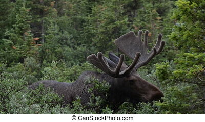 Moose close-up near long lake trail Colorado - Moose in the...
