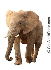 African Elephant Isolated - Huge African elephant isolated...