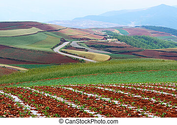 Wheet field in Yunnan Province, southwest of China