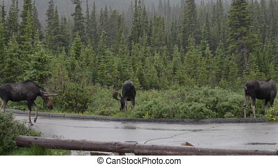 Three moose by the road - Moose crossing the road, near long...