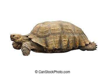 turtle (geochelone sulcata)isolated on a white background