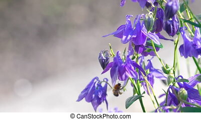 Bumblebee on aquilegia flower - Bumblebee on a purple...