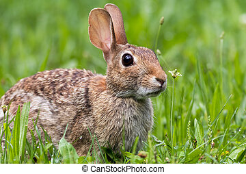 Adorable Eastern Cottontail bunny rabbit in the green grass...