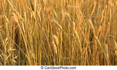 Close-up of a spikelet on a wheat field. Background...