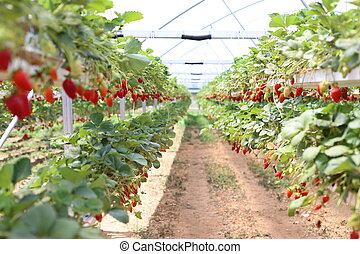 Growth of strawberries in a greenhouse