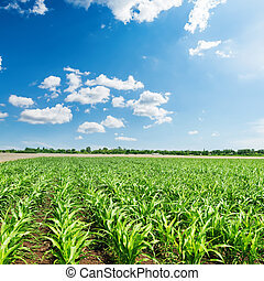 green little maize in agriculture field and blue sky with clouds