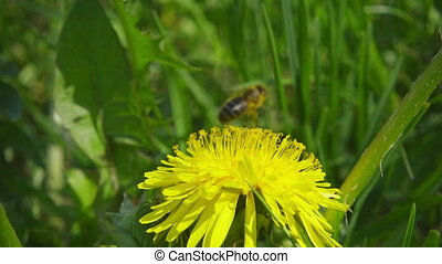 A bee collecting nectar from dandelion, and then fly away,...