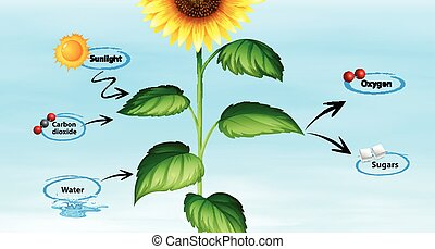 Diagram showing sunflower and photo synthesis illustration
