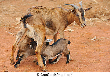 Goats feeding - Mother goat feeding little goats