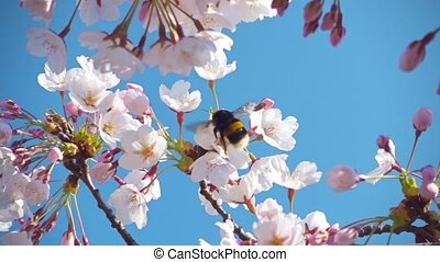 Sakura flowers and a bumblebee, slow motion