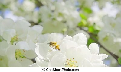 A bee collecting pollen from flowers of apple, slow motion
