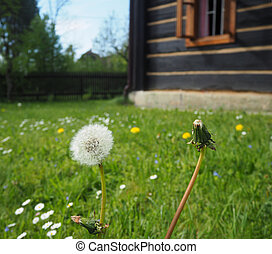 close up dandelion on the blooming grass with old timbered...