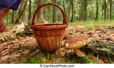 Hand cut off boletus mushroom by jagged blade knife, than mushroomer hands placing mushroom into wicker basket. The mushroom hunting