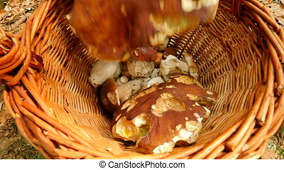 From the top shot of hand placing boleti mushrooms in wicker basket. The mushroom hunting