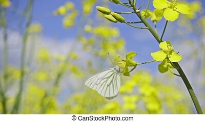 White butterfly and rapeseed flowers, slow motion