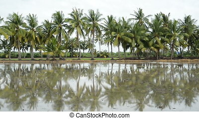 palm coconut tree reflection in the water