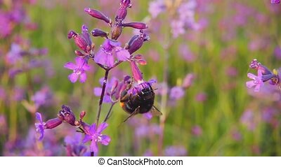 Bumblebee collects nectar from pink flowers, slow motion