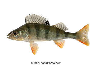 Ordinary river perch - Perch a predatory and gluttonous...