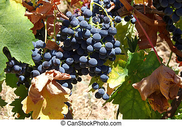 Bunch closeup of red grapes on vine