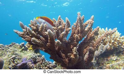 Staghorn coral, Acropora pulchra, with tropical fish...