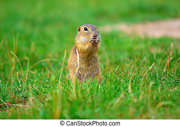Ground squirrel hold some corns in front legs and feeding....