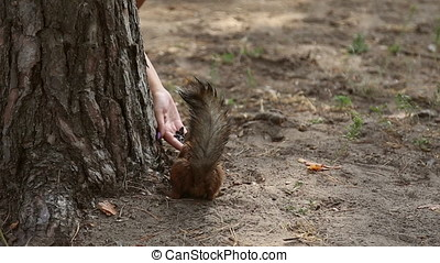 Squirrel eats sunflower seeds, the woman feeds her with her...