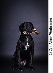 Black dog portrait - Black kurzhaar dog portrait in studio...