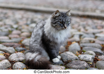 Fluffy cat with different colored eyes on a stone pavement