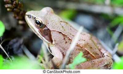 Detail of small brown frog sitting in grass