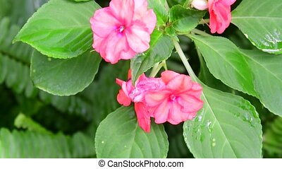Closeup of tropical flowers. Beautiful tropical background. Pink and green background. 4K.