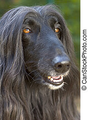 Afghan Hound.  - Close up of a black Afghan Hound.