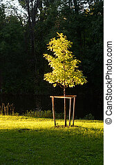 Young tree lit by the rays of the sun at sunset.